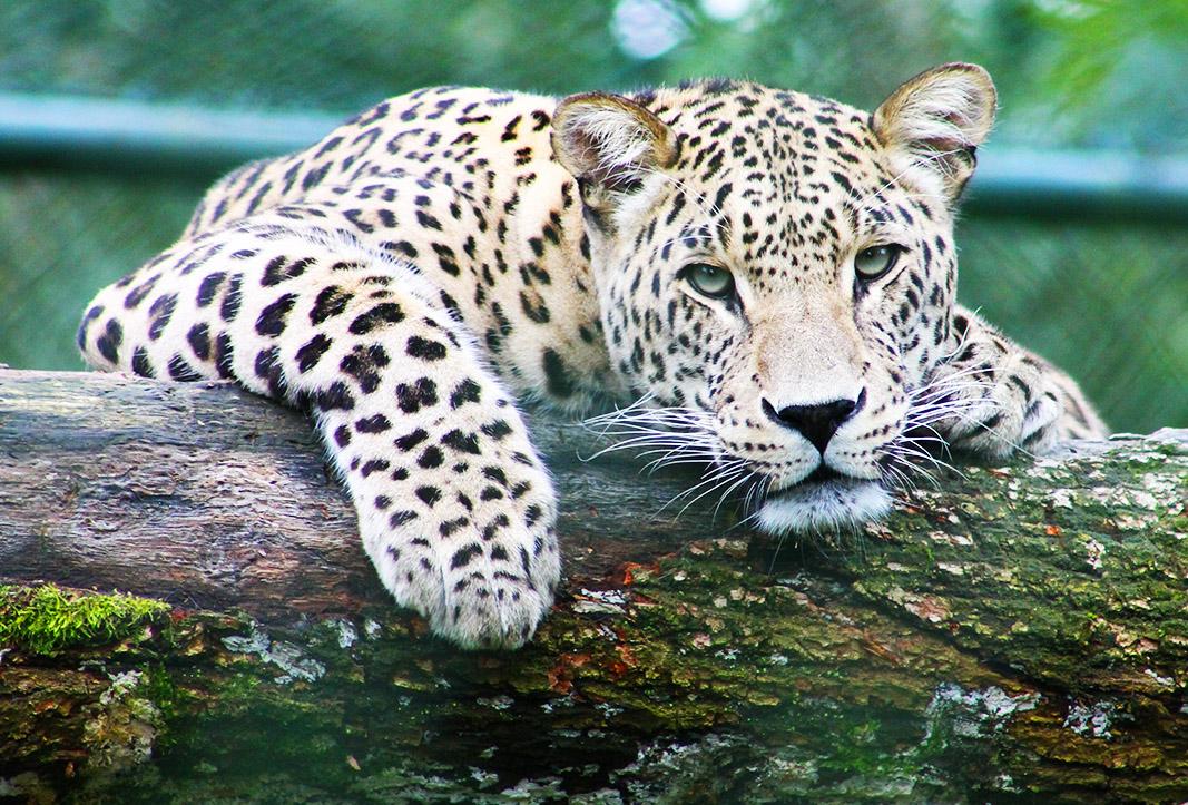 Jaguar Medicine