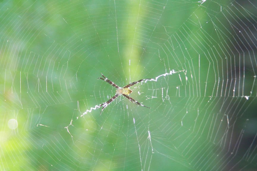 Weaving our Reality Hawaii Garden Spider